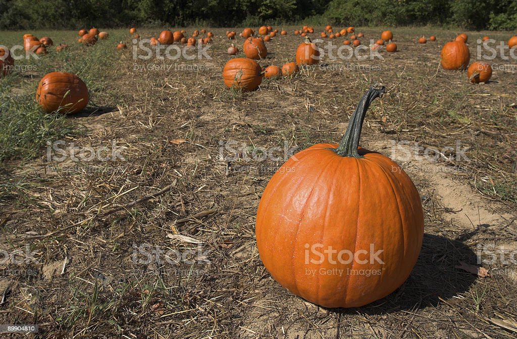 The pumpkin patch royalty-free stock photo