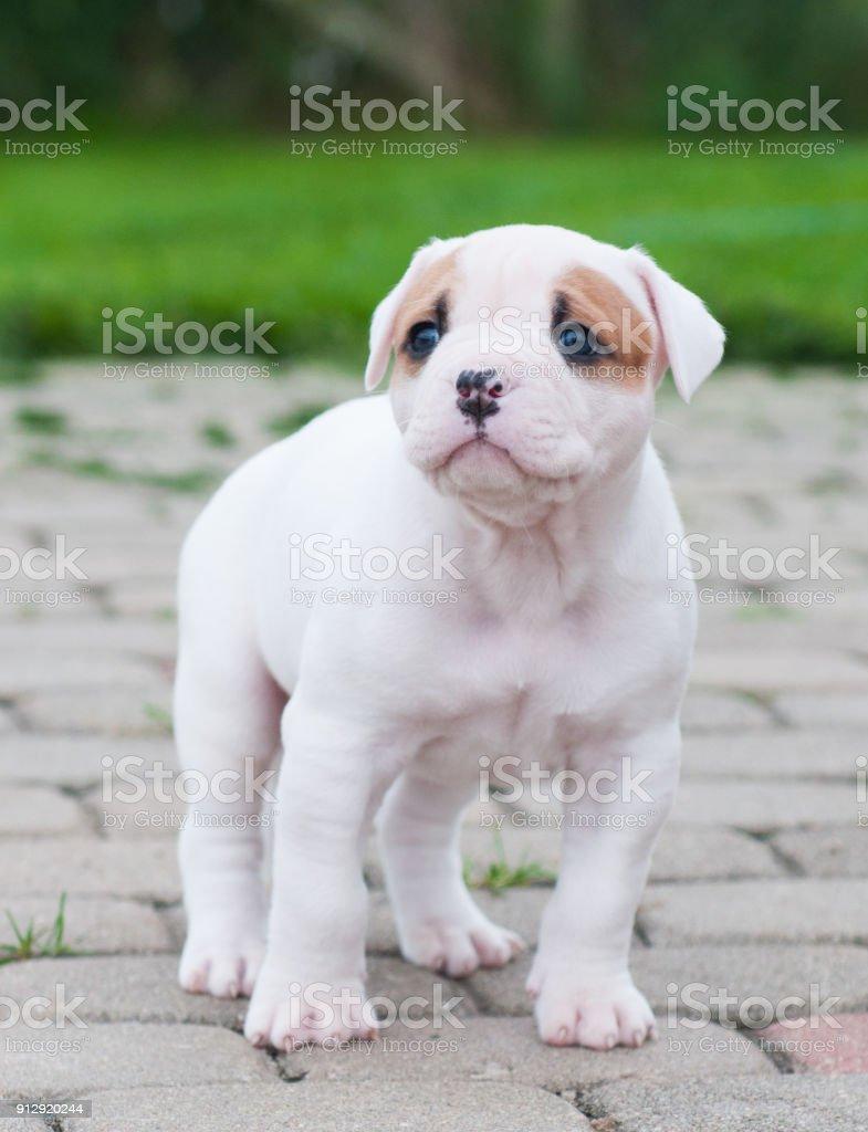 die welpe ist verloren lustige schöne rote weißkittel american bulldog  welpen ist auf die natur fuß stockfoto und mehr bilder von angst