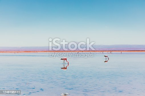 Scenic view of group of flamingo on turquoise colored reflection lagoon with view of the beautiful volcano and Andes Mountains at Atacama Desert, Chile region