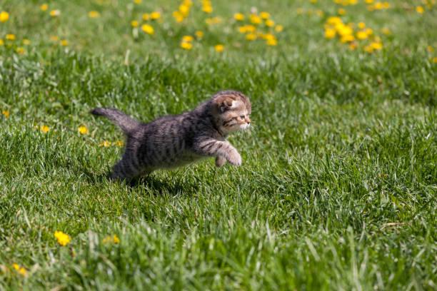 The purebred scottish fold kitten picture id872703954?b=1&k=6&m=872703954&s=612x612&w=0&h=mhscauigbphinwhfyqnsbtutnq8wg 8qemb7g3uw2qs=