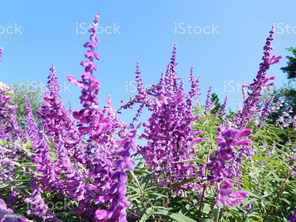 The purple flowers of sage under the blue sky stock photo