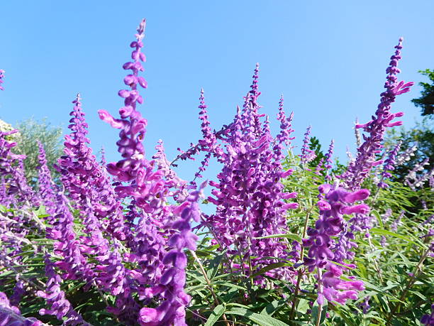 The purple flowers of sage under the blue sky – Foto