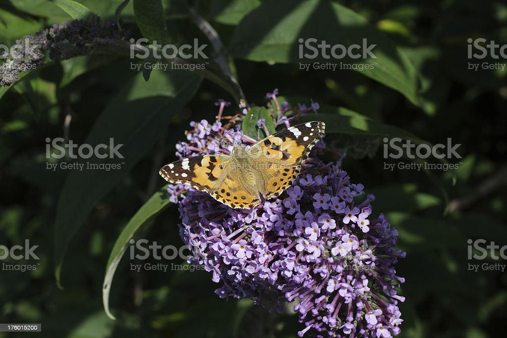 Painted lady butterfly Vanessa cardui on flower of buddleia davidii stock photo