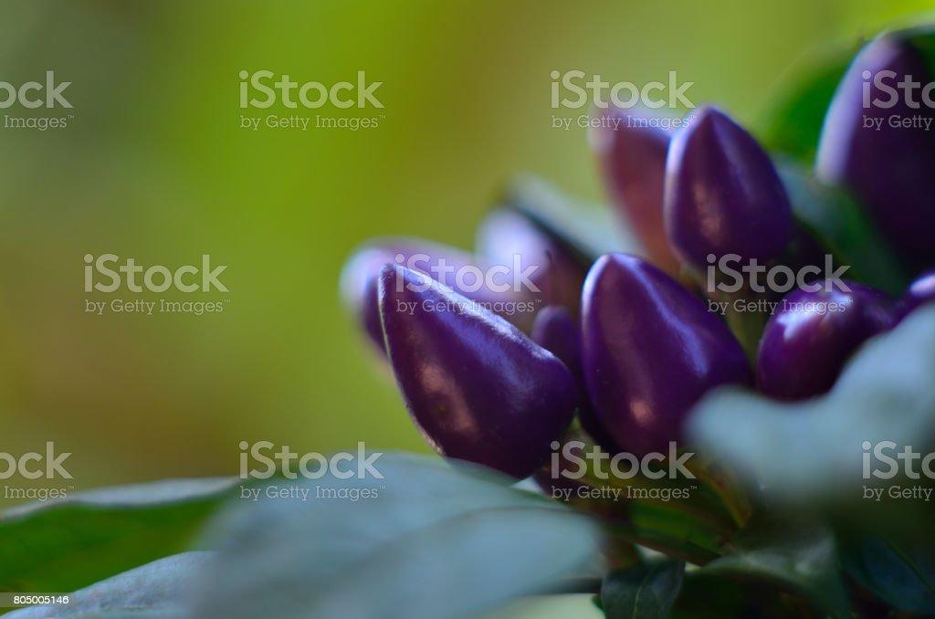 The purple paprika stock photo
