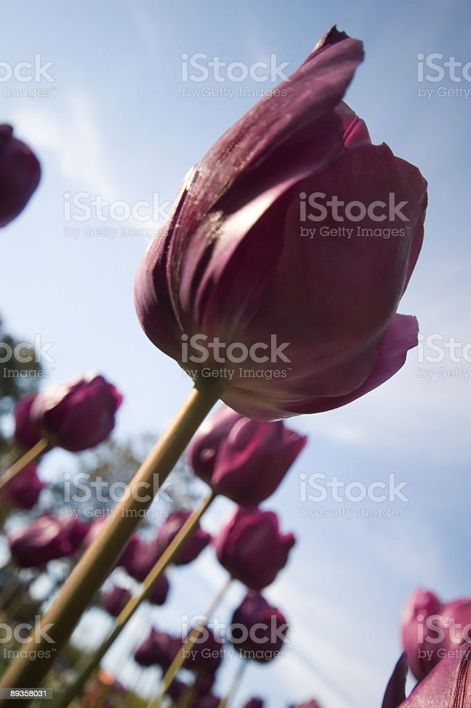 The Purple Tulip royalty free stockfoto
