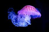 istock The Purple-striped Jellyfish (Chrysaora colorata) 1204030565