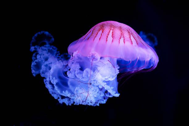 The Purple-striped Jellyfish (Chrysaora colorata) stock photo