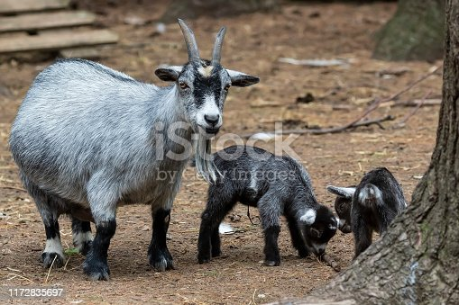 African  pygmy goat is domestic miniature breed