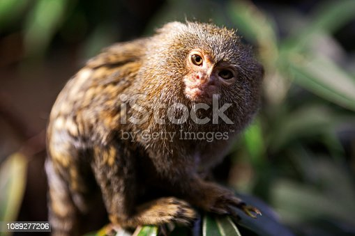 The pygmy marmoset (Cebuella pygmaea) on a tree