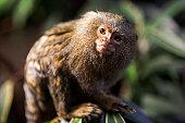 The pygmy marmoset (Cebuella pygmaea) on a tree