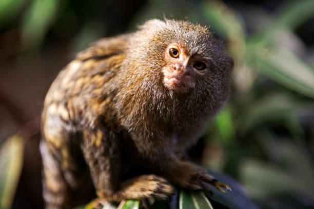 The pygmy marmoset (Cebuella pygmaea) The pygmy marmoset (Cebuella pygmaea) on a tree marmoset stock pictures, royalty-free photos & images