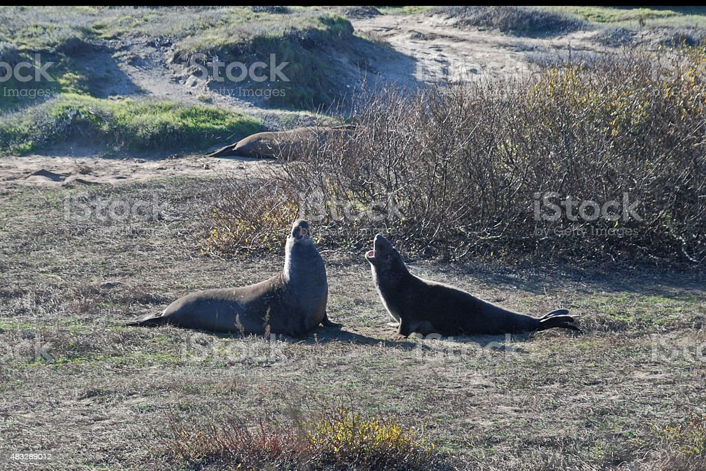 The Quarell of the Sea Lions stock photo