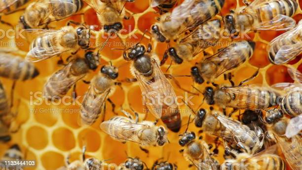 The queen bee surrounded by bees that support and feed picture id1133444103?b=1&k=6&m=1133444103&s=612x612&h=7mtfaxbo0uki ibfhcogxxhhbvnc1ys6hqwz9pdudjq=