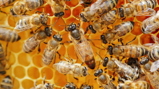 the queen bee surrounded by bees: that support and feed - ape domestica foto e immagini stock