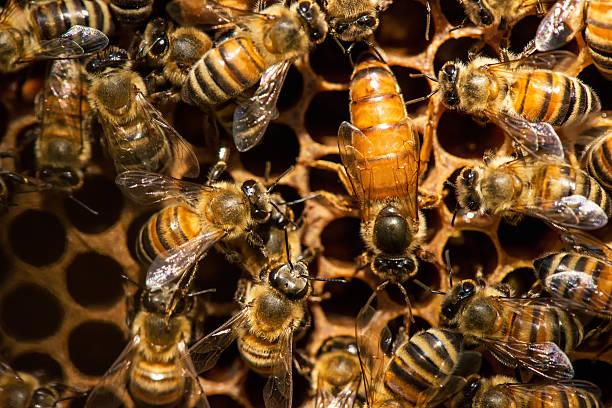 The queen bee swarm - selective focus – Foto