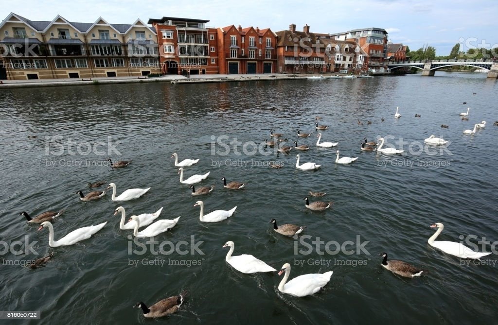 The Queen's Mute Swans on the River Thames stock photo