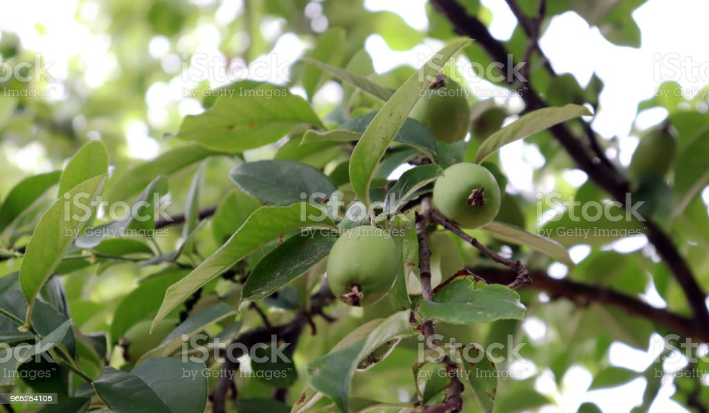 The quince tree with quince fruit of early summer. royalty-free stock photo