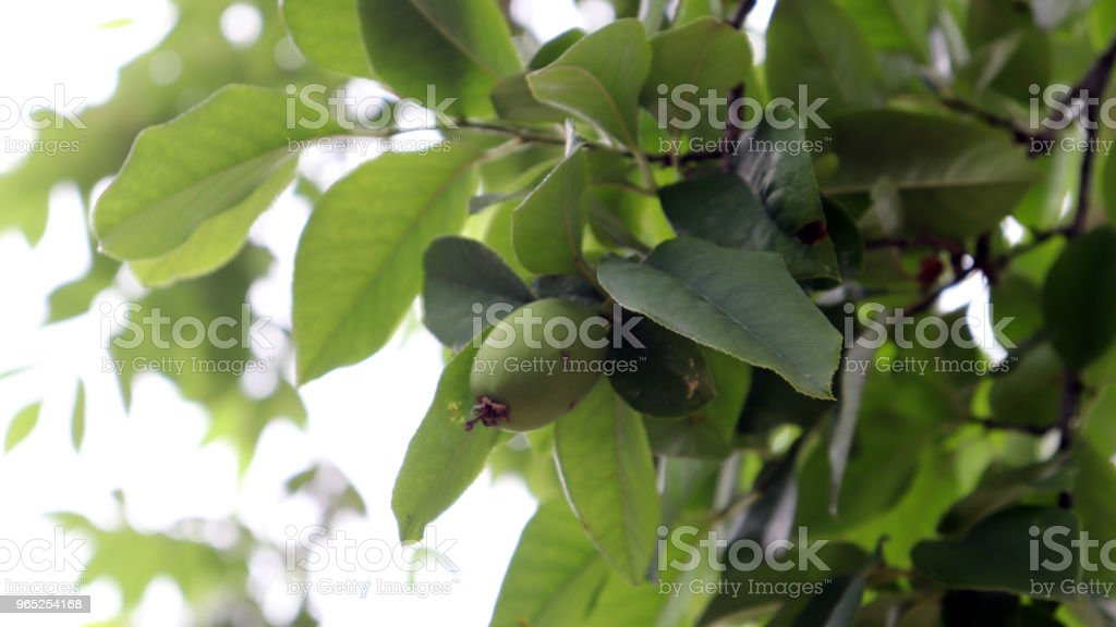 The quince tree with quince fruit of early summer. zbiór zdjęć royalty-free