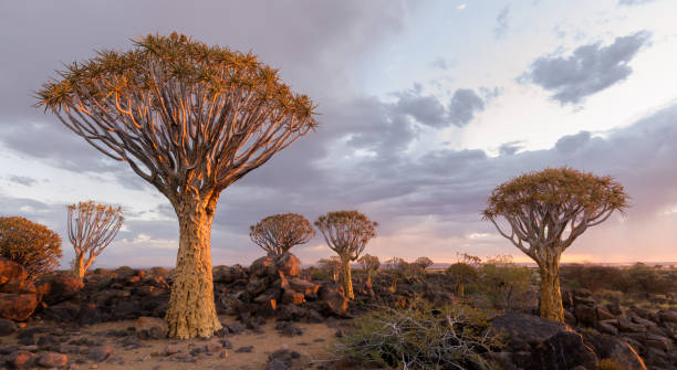 The Quiver Tree Forest in Southern Namibia illuminated by the sunset. stock photo