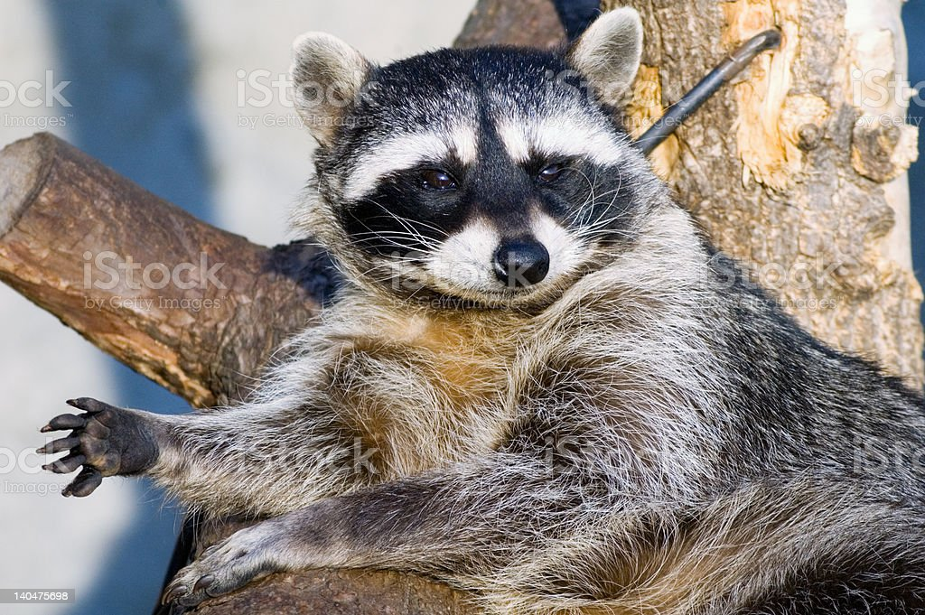 The raccoon stock photo