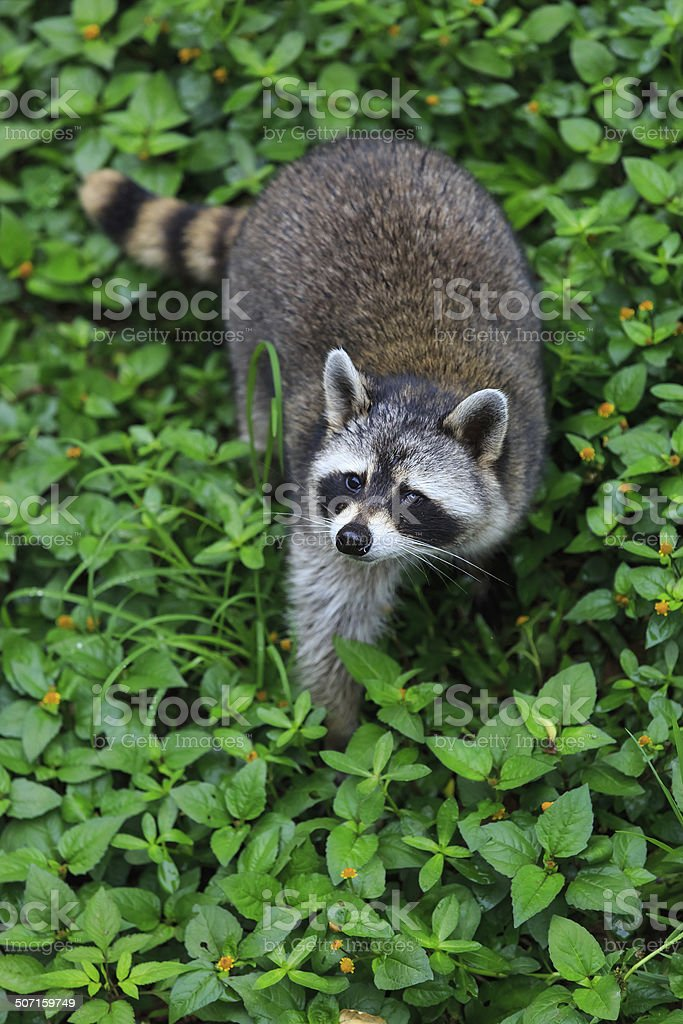 The raccoon play in the grass background stock photo