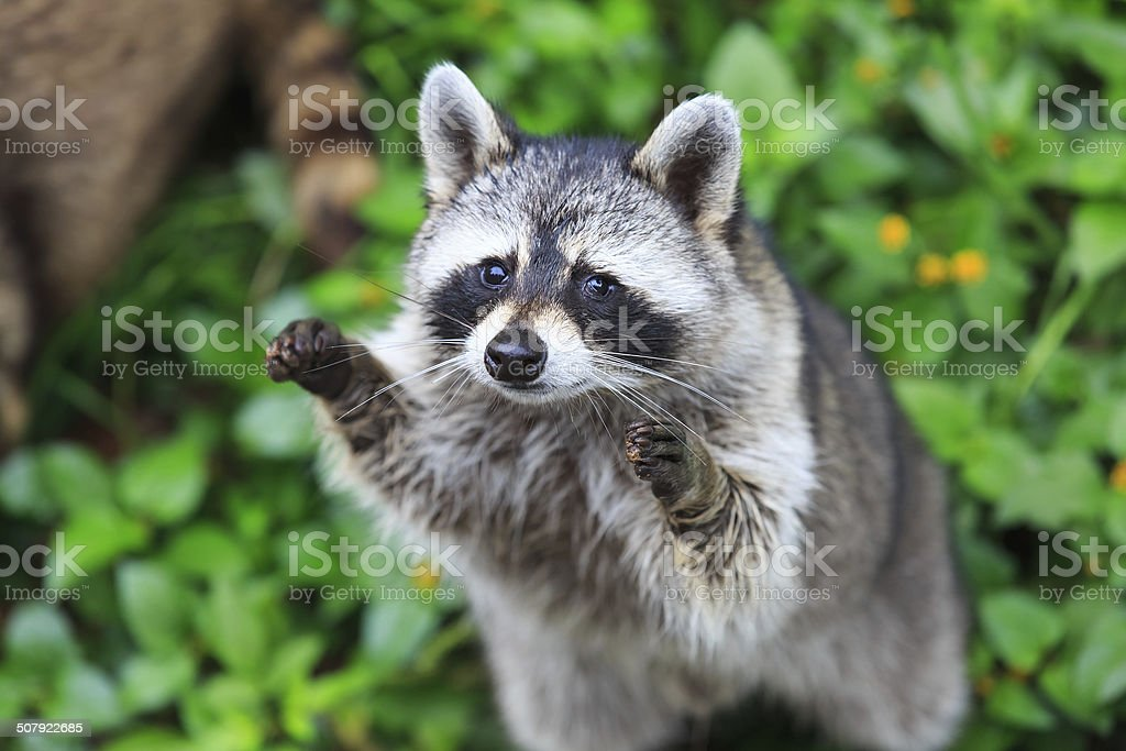 The raccoon play standing in the green grass background stock photo