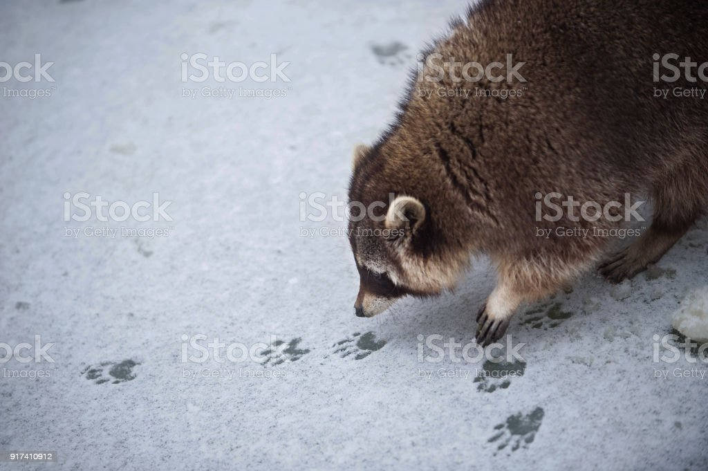 the racoon on the snowy ice sniffs to the tracks of another racoon