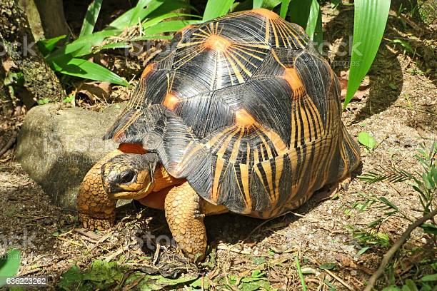 The radiated tortoise from south of madagascar picture id636223262?b=1&k=6&m=636223262&s=612x612&h=e8a1ggqapo 9qr6zbclwv045tjmhlollyoywthnvczk=