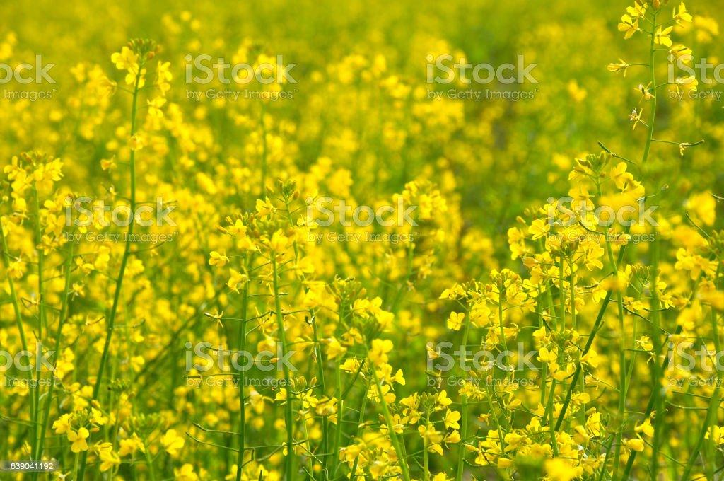 The rape flowers field scenery stock photo
