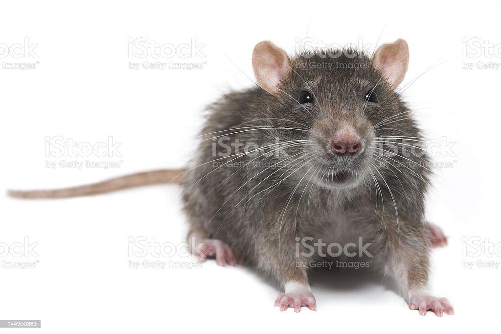 The rat stock photo