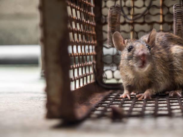 le rat est dans une cage, attraper un rat. le rat a contagion de la maladie à l'homme - cage animal nuit photos et images de collection