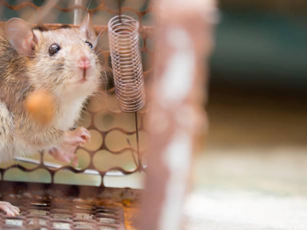 le rat est dans une cage de capture. le rat a contagion de la maladie à l'homme comme la leptospirose, la peste. maisons et logements ne devraient pas avoir souris. contrôle pour animaux de compagnie. prévenir les maladies contagieuses des animaux - cage animal nuit photos et images de collection