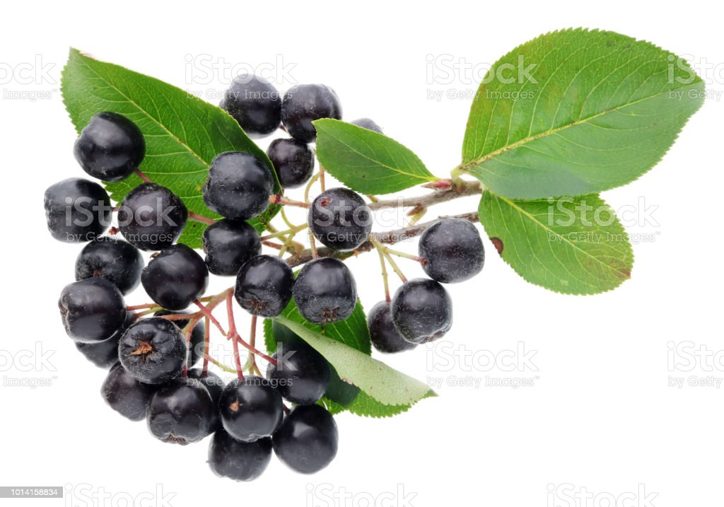 The real  berries of the aronia are covered with thin villi. Isolated – zdjęcie