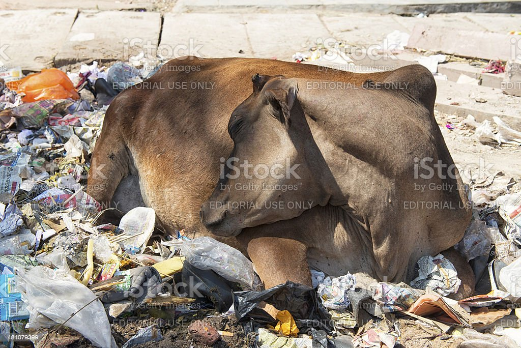 The real state of sacred cows stock photo