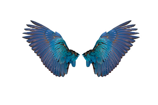 The rear wings of the blue and gold macaw isolated on white background