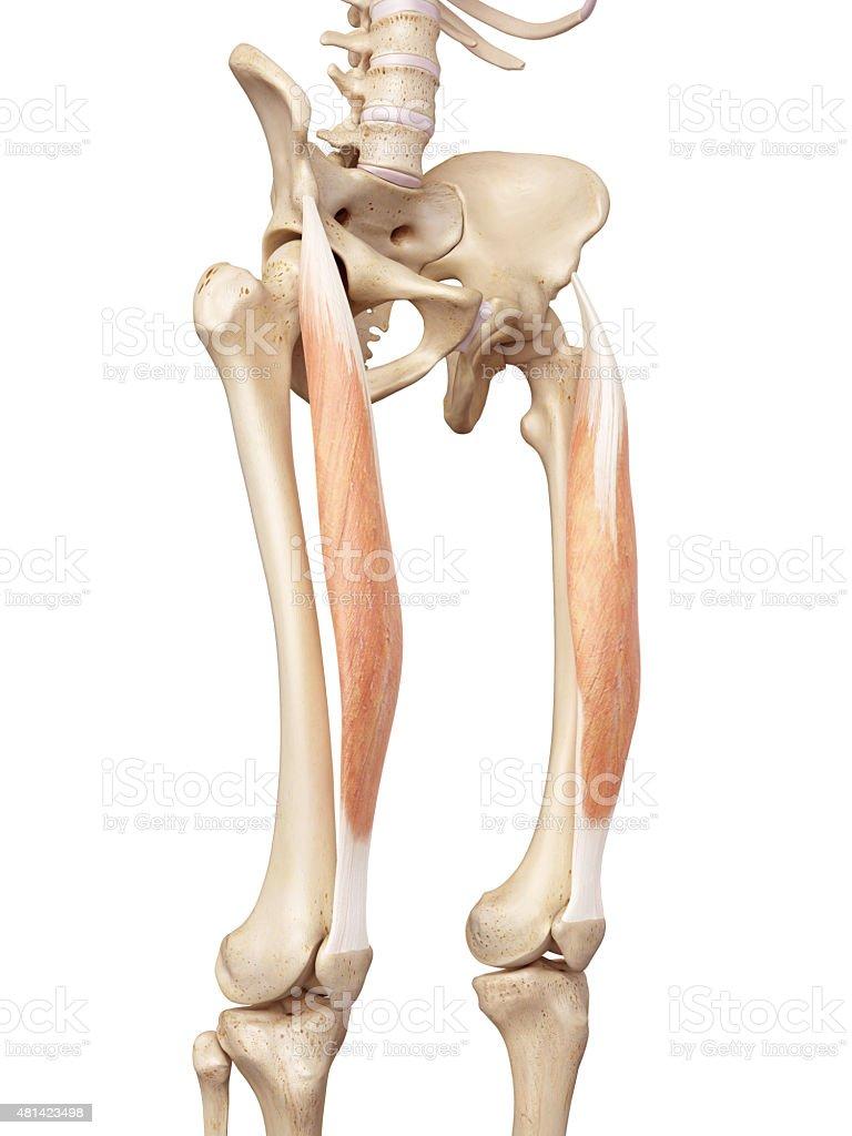 Der Gerade Oberschenkelmuskel Stock-Fotografie und mehr Bilder von ...
