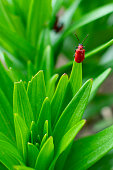 the red bug climbed to the top of the plant , during the breeding season to search for the female