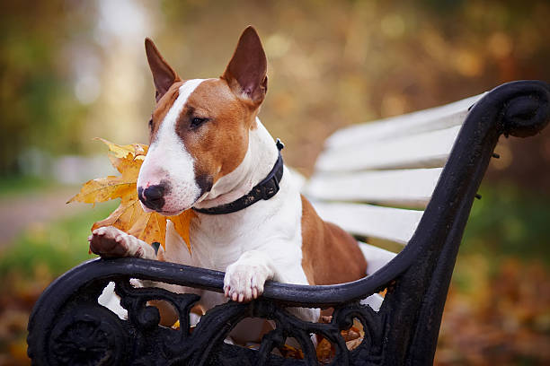 The red bull terrier lies on a bench picture id493342660?b=1&k=6&m=493342660&s=612x612&w=0&h=tjibplzxbzlnpgo9nuthpnv3czvdf2bhyok7wo8rdg0=