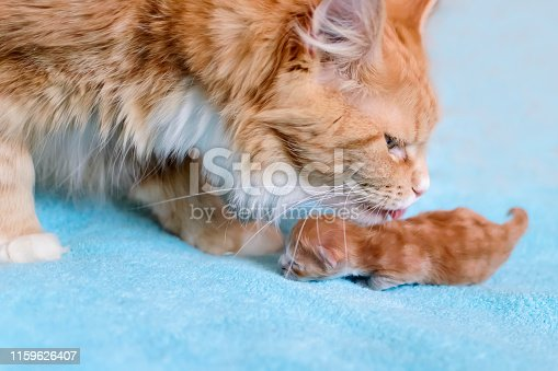 The red cat Maine Coon licks his kitten.