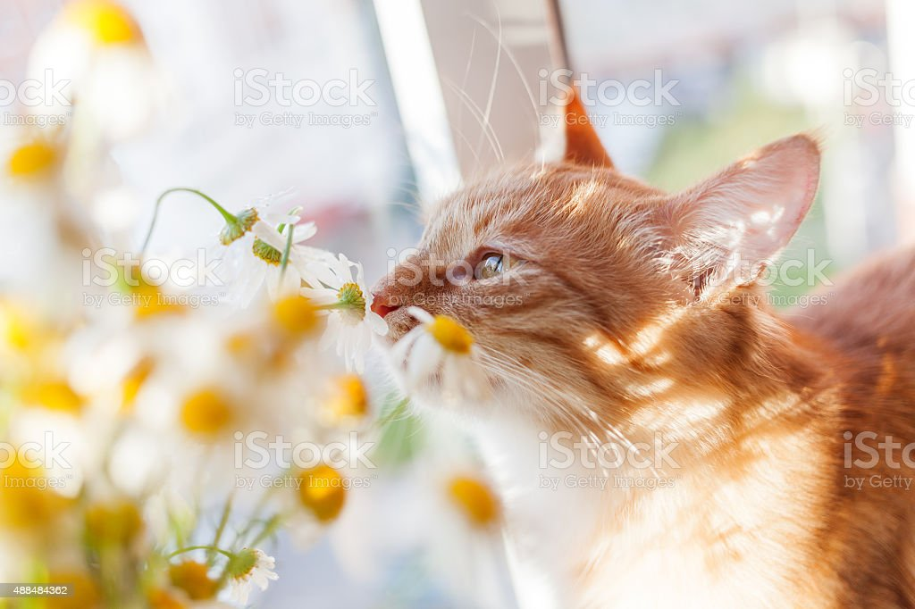 The red cat smells a bouquet of camomiles. Cozy morning. stock photo