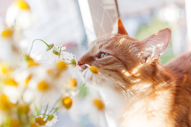 красный cat нюхает букет camomiles. уютный утро. - котик яркий стоковые фото и изображения