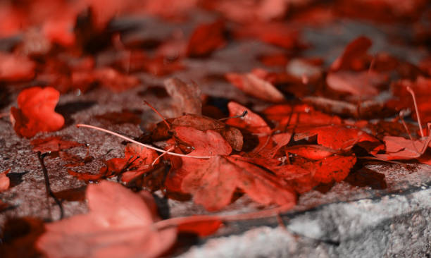 the red color of the autumn leaves