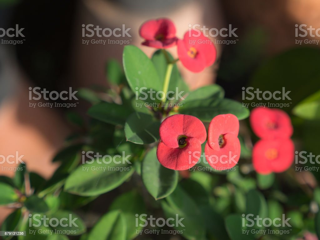 The Red Crown of Thorns Flowers Blooming stock photo