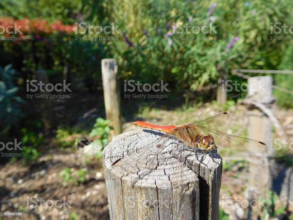 The red dragonfly on the stake in the garden stock photo