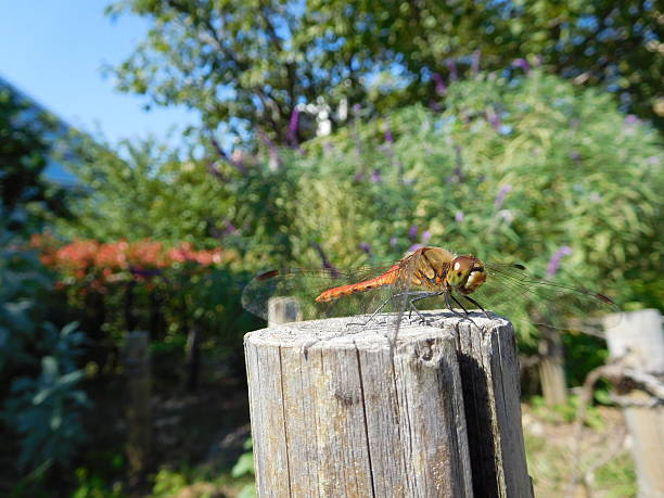 The red dragonfly on the stake under the blue sky – Foto