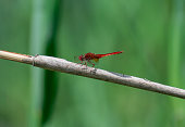 The red dragonfly sits on the reeds by the lake