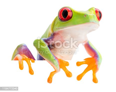 The red eyed monkey tree frog, Agalychnis callidryas, from the rain forest of Panama and Costa Rica isolated on white. A trrefrog withvibrant eyes.