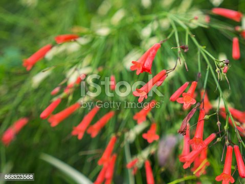 The Red Firecracker Plant Flowers Blooming in The Garden