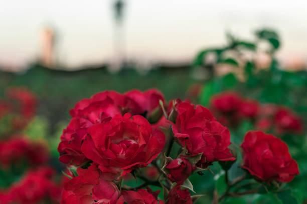 The red flowers picture id990728186?b=1&k=6&m=990728186&s=612x612&w=0&h=boz9dzratulr bikxw1crb kmbaevg5vege2wij4o0q=