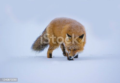 The red fox (Vulpes vulpes) is the largest of the true foxes and the most geographically spread member of the Carnivora, being distributed across the entire Northern Hemisphere from the Arctic Circle to North Africa, Central America and Asia. Its range has increased alongside human expansion, having been introduced to Australia, where it is considered harmful to native mammal and bird populations. North Slope of Alaska, Alaska. Hunting in the snow.